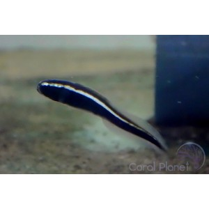 Mag Float Clip Large - klips do alg na czyściki Small i Long