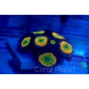 Aquaforest Algae Feed M 120 g